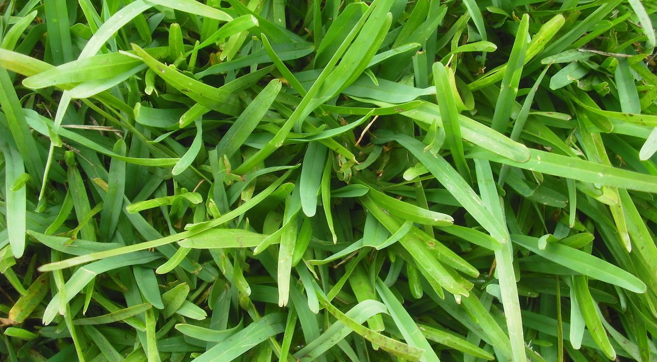 Palmetto Grass Turf